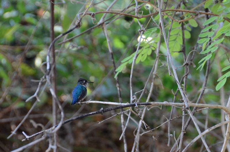 bee-hummingbird-at-rest