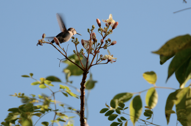bee-hummingbird-in-flight